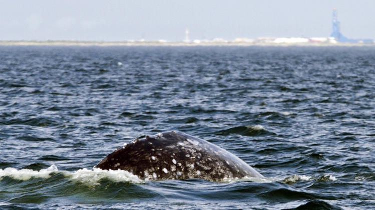 FILE - In this Sept. 15, 2010 file photo provided by Oregon State University, a western gray whale surfaces off the northeast coast of Sakhalin Island in the Sea of Okhotsk in Russia. Oregon State University says scientists coordinated by the International Whaling Commission have attached satellite tags to five more of the endangered whales, according to a news release. The whales will be tracked to see where they spend winters and if any repeat the unexpected crossing to North America. (AP Photo/Oregon State University, Craig Hayslip, file)
