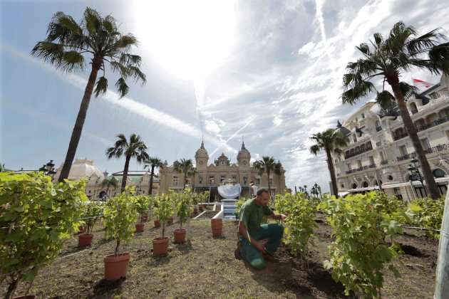 A gardener prunes a temporary vineyard on the Monte Carlo Casino square to celebrate the 150th anniversary of the Societe des Bains de Mer in Monaco