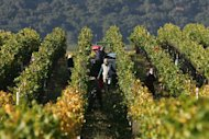 This file photo shows farm workers harvesting wine grapes at a vineyard in Santa Maria, California, on October 9, 2006. Some 61 percent of growers in California this year report shortages of laborers, especially in labor intensive crops like grapes and vegetables, according to the California Farm Bureau Federation