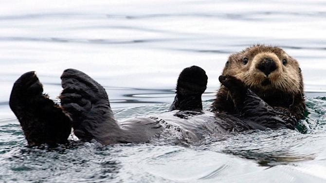 FILE - A sea otter floats in Kachemak Bay, Alaska, in this July 1, 2003 file photo. Alaska state senator Bert Stedman, R-Sitka, is proposing a bounty on sea otters, the cuddly little marine mammals often seen by tourists swimming on their backs between cruise ships, sometimes munching on a freshly caught King crab. Stedman doesn't see the otters as cute critters; he considers them as a threat to fishing beds and the crab harvest in Alaska. The Sitka Republican has introduced a bill in February 2013 that would have the state pay Alaska Natives, who are the only residents legally allowed to kill sea otters, $100 for every dead otter they bring in.  (AP Photo/Laura Rauch, File)