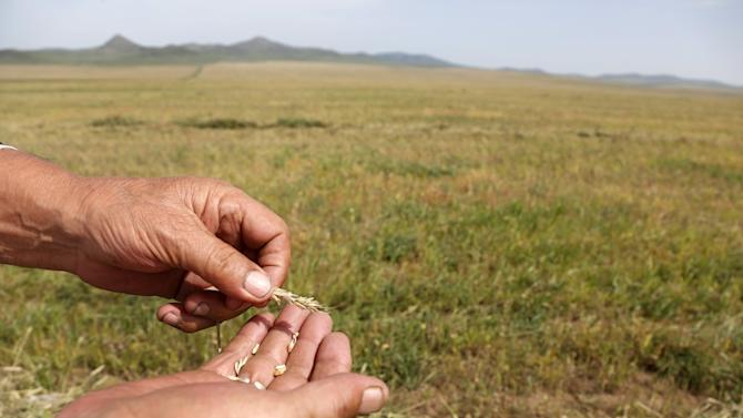 A farmer displays crops affected by drought, near Ulaanbaatar, in Talbulag, Jargalant district