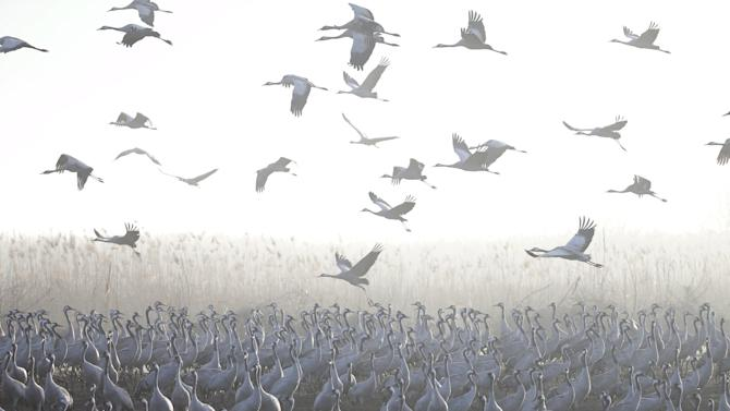 Migrating cranes stand as others fly over the Hula Lake Ornithology and Nature Park in northern Israel
