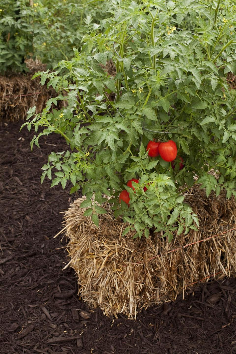 In this publicity photo provided by Cool Springs Press, tomato plants flourish in straw bales lining the garden of Minnesota author, Joel Karsten. He is the leading evangelist of a straw-bale gardening movement that has become one of this summer's hottest gardening trends. (AP Photo/Cool Springs Press, Tracy Walsh/Poser Design)