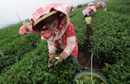 Local farmers are seen collecting fresh tea leaves from the farms in Nantou, central Taiwan. The island's tea industry peaked in 1973 when it produced 28,000 tonnes of tea leaves, with 23,000 tonnes being exported, but since then the sector has been gradually losing its competitiveness due to labour shortages, rising labour costs and the appreciation of the local currency