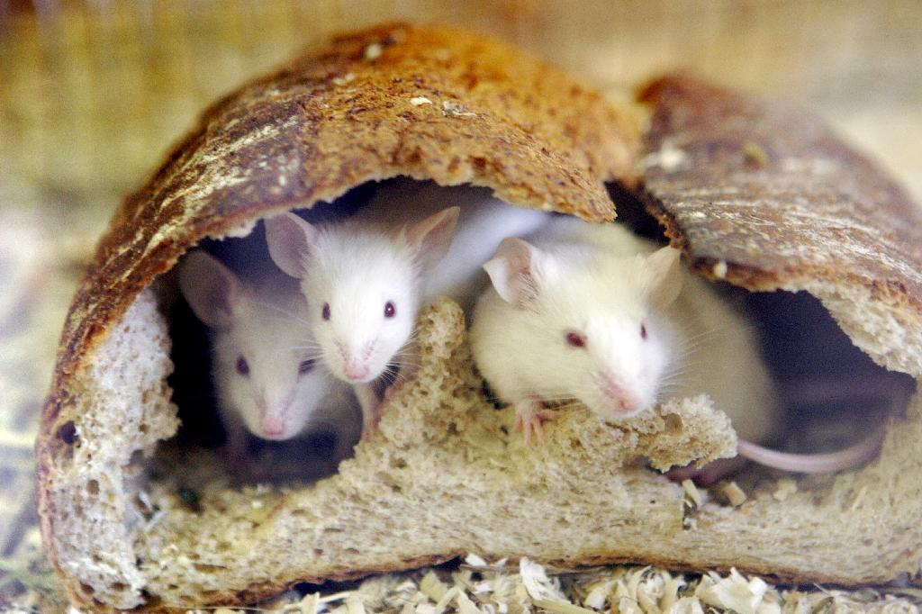 Scientists restore lost memory in mice, shedding light on amnesia