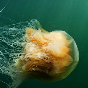 Do jellyfish get a bad rap?