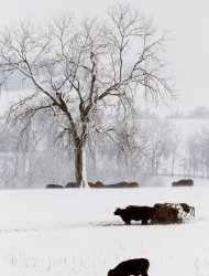 FILE - In this Feb. 26, 2013 file photo, cattle feed in a snow-covered pasture near Lecompton, Kan. Recent rain and snowstorms have eased the grip of the worst U.S. drought in decades in portions of the nation's midsection, but climatologists caution that the moisture _ a blessing after a disastrous, bone-dry 2012 across much of the nation's Corn Belt _ doesn't signal the end of the stubborn drought still gripping more than half the continental U.S. (AP Photo/Orlin Wagner, File)