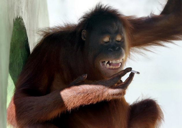 Tori, a 15-year-old orangutan, smokes a cigarette inside her cage at Satwa Taru Jurug zoo in Solo, Central Java, Indonesia, Friday, July 6, 2012. Zookeepers said they plan to move Tori, who learned to