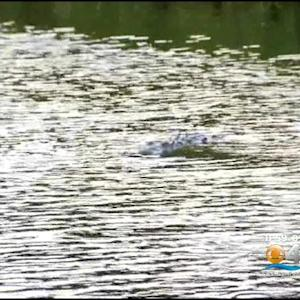 FWC: Croc Caught In Gables Canal Dies After Being Trapped