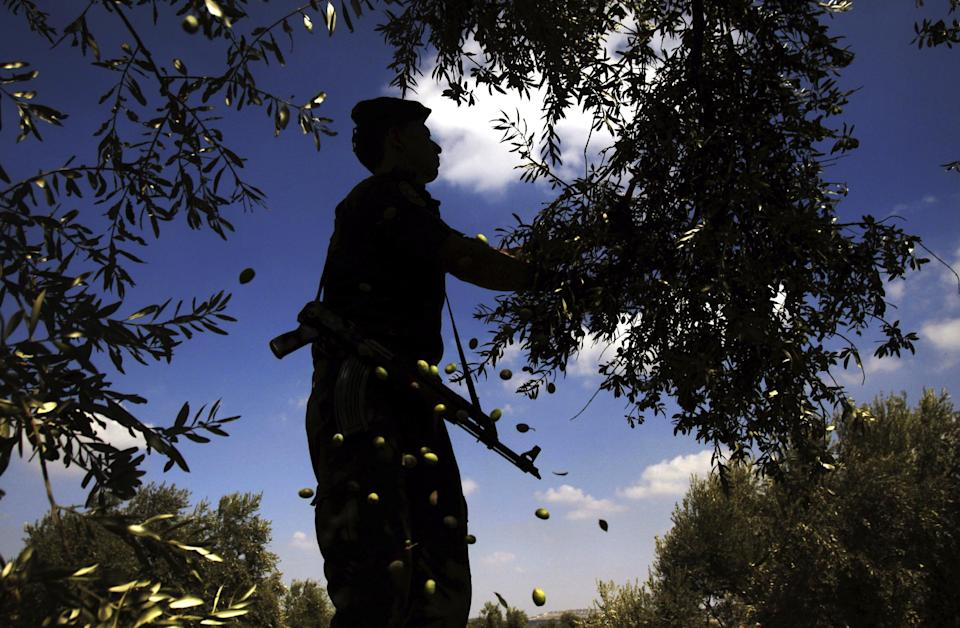 A Palestinian security officer helps farmers pick olives during the harvest season, in the northern West Bank village of Maythaloon, Sunday, Oct. 14, 2012. The U.N. Middle East envoy said on Sunday he's alarmed by attacks blamed on Israeli settlers against Palestinian farmers and their olive trees. (AP Photo/Mohammed Ballas)