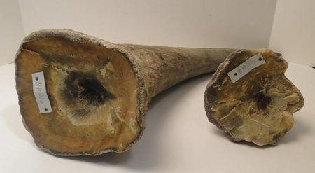 Rhino horns are pictured in this undated handout photo