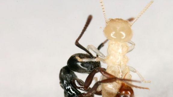 'Alien' Argentine Ants May Have Met Their Match