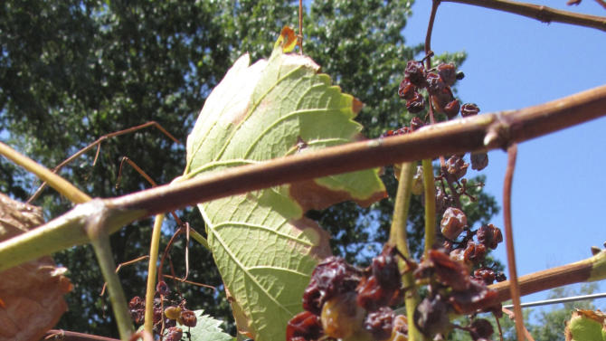 In this Aug. 15, 2012 photo, grapes show the shrivelling effects of the Midwest's drought in the six-acre vineyard at OakGlenn Winery near Hermann, Mo. While the lingering dryness and heat through much of the U.S. proved ruinous for many other crops, vintners say grapes held their own, producing sweeter fruit with more concentrated flavor that could give wine enthusiasts something to cheer. (AP Photo/Jim Suhr)