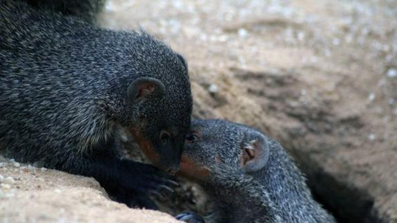 Mongoose Calls More Humanlike Than Thought