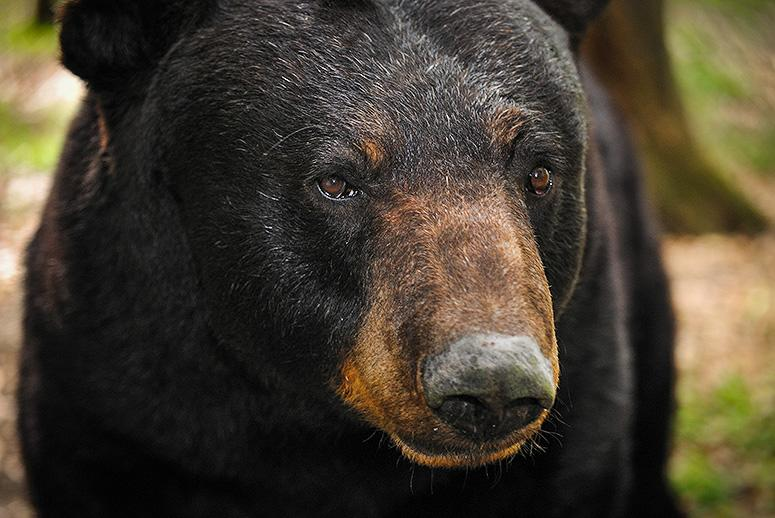 Florida's Bears Are No Longer Endangered, and Now 320 of Them Could Be Killed in a Week