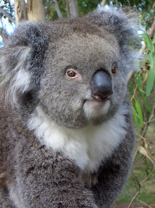 There's more to koalas than you think