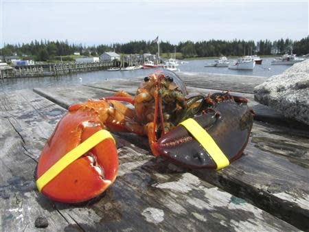An extremely rare, two-toned, half-orange, half-brown lobster caught off the coast of Maine is pictured in this handout photo