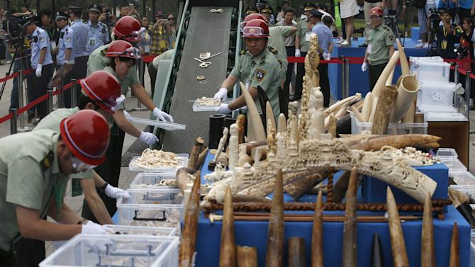 Government officials place ivory tusks and products on a conveyor belt to a crusher at a confiscated ivory destruction ceremony in Beijing