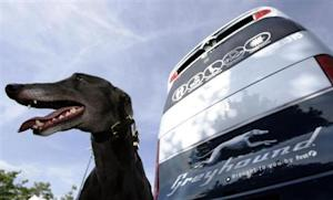 A greyhound sits beside a Greyhound bus at the launch of FirstGroup's new Greyhound UK service in London