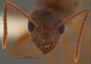 Why 'Crazy Ants' Swarm Inside Electronics