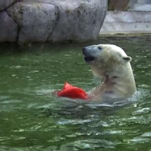 Raw: Polar Bear Twins Born at Munich Zoo