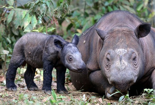 In this Saturday, June 23, 2012 photo released by International Rhino Foundation, female Sumatran rhino named Ratu walks with her newly-born calf at Sumatran Rhino in Way Kambas National Park in Lampu