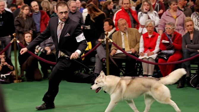 Handler Tim Terella of Fairview, Pa., runs in the ring with Winnie, a siberian huskie at the 136th annual Westminster Kennel Club dog show, Tuesday, Feb. 14, 2012, in New York. Winnie received an award of merit in the competition. (AP Photo/Craig Ruttle)