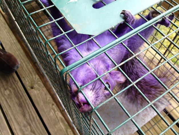 A purple squirrel may sound like an exotic cocktail, but it's actually got nothing to do with booze. A purple-hued squirrel was found in a Pennsylvania backyard and folks were flummoxed as to how it got its unusual coloring. One theory: It fell into a Porta-Potty. (Facebook)