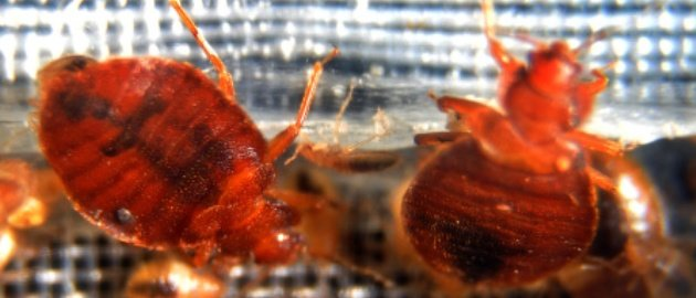 bed bugs. Photo: Getty Images/Jewel Samad