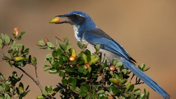 New Count Reveals One of Rarest US Birds