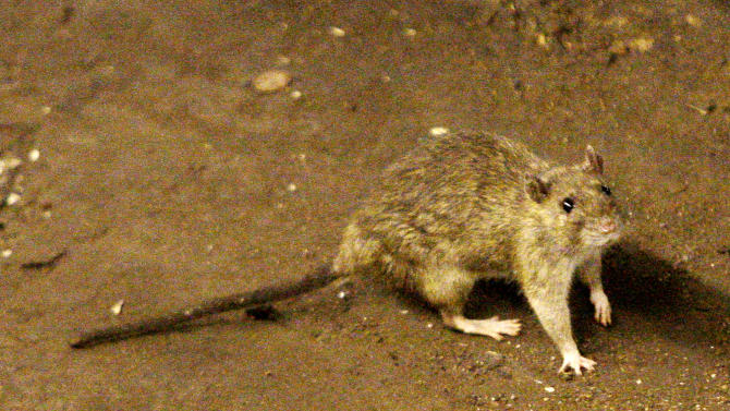 FILE- In this June 15, 2010 file photo, a rat wanders the subway tracks at Union Square in New York. The New York City Council is considering a proposal to create an emergency rat mitigation program for superstorm Sandy-impacted neighborhoods. But some experts aren't so sure that Sandy's supposed rat surge is for real.  (AP Photo/Frank Franklin II, File)