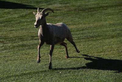 A ram wanders onto the golf course at Humana Challenge