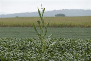 A lone corn stalk is seen in a soybean field on a farm in Coatsville Maryland