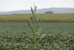 A lone corn stalk is seen in a soybean field on a farm in Coatsville Maryland