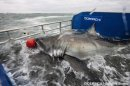 2,000-Pound Great White Shark Tagged & Tracked