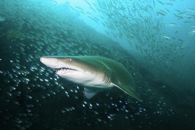 Sharks Are Attacking Climate Change