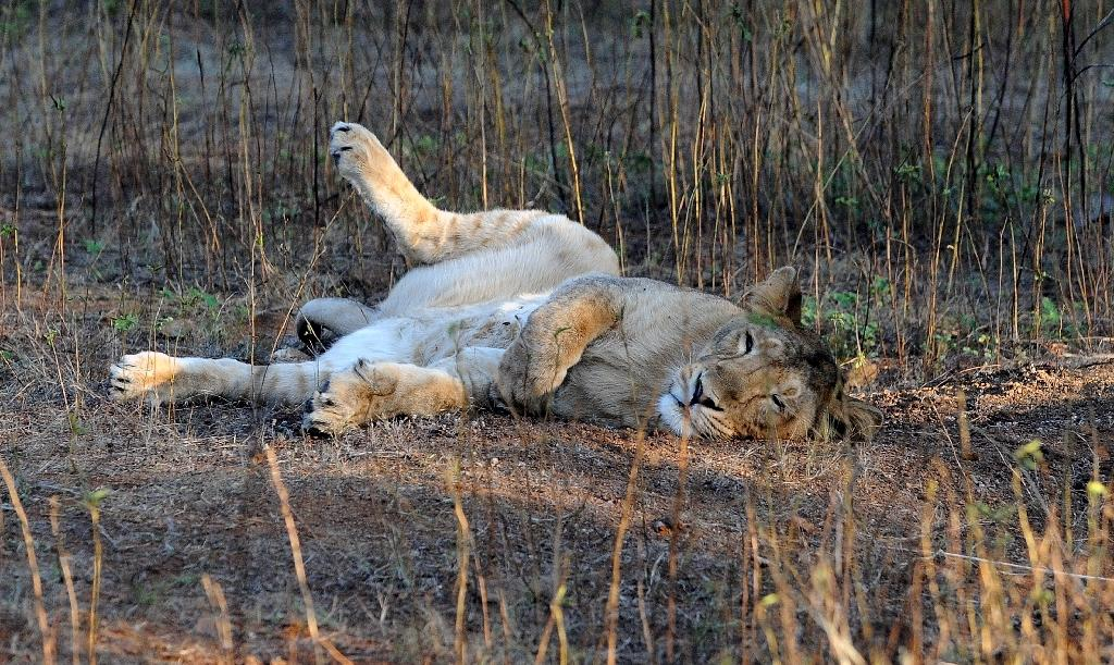 India holds census of endangered asiatic lions