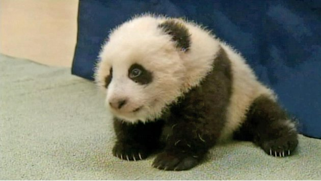 Panda cub at San Diego Zoo gets official name