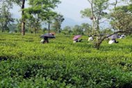 <p>This photo shows workers plucking tea leaves at a tea plantation in northeastern India, on June 11. After a decade of scorching near double-digit economic growth, there is growing alarm that India is sliding back towards its previous expansion rate of 5.0-6.0 percent.</p>