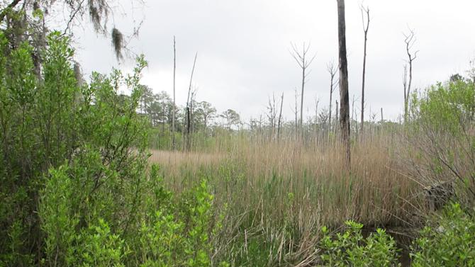 Strawberry Swamp at Hobcaw Barony just outside Georgetown, S.C., is seen in this April 12, 2013 photograph. Clemson University researchers have mapped the advance of salt water due to rising sea levels at the swamp during the past six decades. The dead trees are trees those that can no longer survive in the salt water environment. The study found a 300 percent increase in the salt marsh during the period. (AP Photo/Bruce Smith)