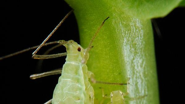 Like Cats, Aphids Land on Feet After Falling