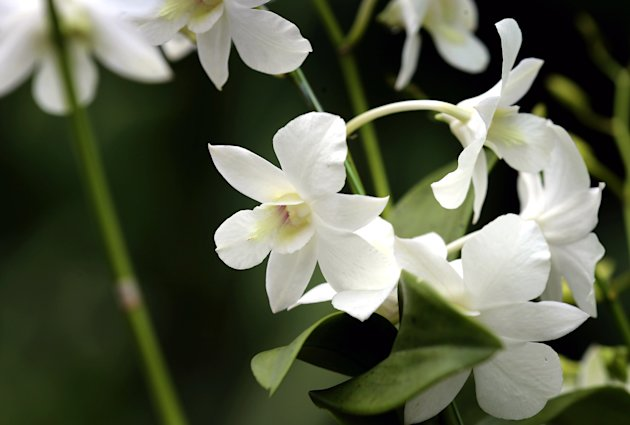 SINGAPORE - SEPTEMBER 11:  A detail shot of an orchid named in honour of Diana, Princess of Wales at Singapore Botanical Gardens ahead of a visit by Prince William, Duke of Cambridge and Catherine, Duchess of Cambridge on day 1 of their Diamond Jubilee tour on September 11, 2012 in Singapore.  Prince William, Duke of Cambridge and Catherine, Duchess of Cambridge are on a Diamond Jubilee Tour of the Far East taking in Singapore, Malaysia, the Solomon Islands and the tiny Pacific Island of Tuvalu.  (Photo by Chris Jackson/Getty Images)