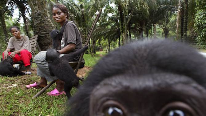 FILE - In this Saturday, April. 30, 2005 file photo, an infant Bonobo looks on while the substitute mothers Marthe Mianda, left, and Michelline Mzozi, right, spend time with baby Bonobos at the Lola Ya Bonobo Sanctuary around fifty kilometers outside of Kinshasa, Democratic Republic of Congo. Endangered chimpanzees, orangutans, gorillas and bonobos are disappearing from the wild in frightening numbers, as private owners pay top dollar for exotic pets, while disreputable zoos, amusement parks and traveling circuses clamor for smuggled primates to entertain audiences. (AP Photo/Schalk van Zuydam)
