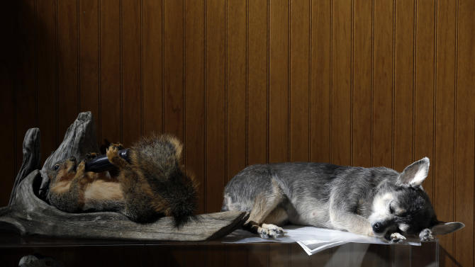 In this photo made Feb. 12, 2013, a freeze-dried dog and squirrel sit next to each other at Anthony Eddy's Wildlife Studio in Slater, Mo. Animal lovers from across the country call on Eddy to faithfully preserve their beloved departed pets for posterity through a freeze-drying process that can take up to a year before they are painstakingly preserved and returned to their owners. (AP Photo/Jeff Roberson)