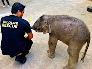 A wildlife official attends to an orphaned three-month-old baby pygmy elephant at Lok Kawi Zoo in Kota Kinabalu, Malaysia's Sabah state, January 31, 2013. A fourteenth rare Borneo pygmy elephant has been found dead of suspected poisoning, Malaysian officials said Thursday, the latest in a series of fatalities that has shaken conservation efforts