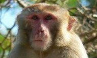 Mystery Monkey Captured After Years On The Run