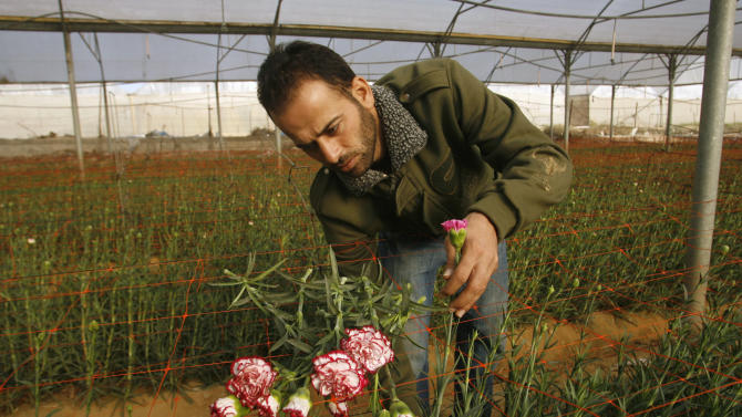 Palestinian worker Ahmad Hejazi collects carnations for export at a greenhouse in Rafah, southern Gaza Strip, Wednesday, Dec. 8, 2010. Israel has announced it will allow increased exports from the Gaza Strip, further easing its blockade of the Hamas-run territory. Israel's Security Cabinet approved the move on Wednesday. (AP Photo/Eyad Baba)