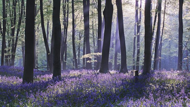 'Bluebell Dawn', Micheldever Wood, Hampshire: Louis Neville left home at 1am to capture this stunning sunrise scene in Hampshire. He was rewarded for his efforts with a commendation in the 'Classic View' category. (Louis Neville, Landscape Photographer of the Year)