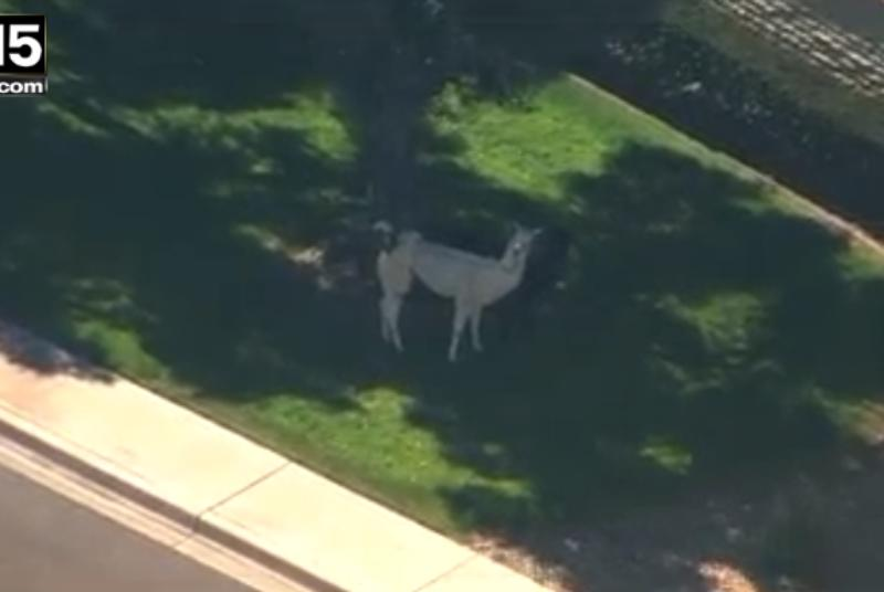 The internet's favorite runaway llamas are retiring from public life