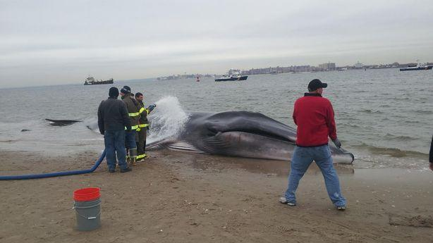 This 30-Foot Whale Has Beached Itself in Breezy Point